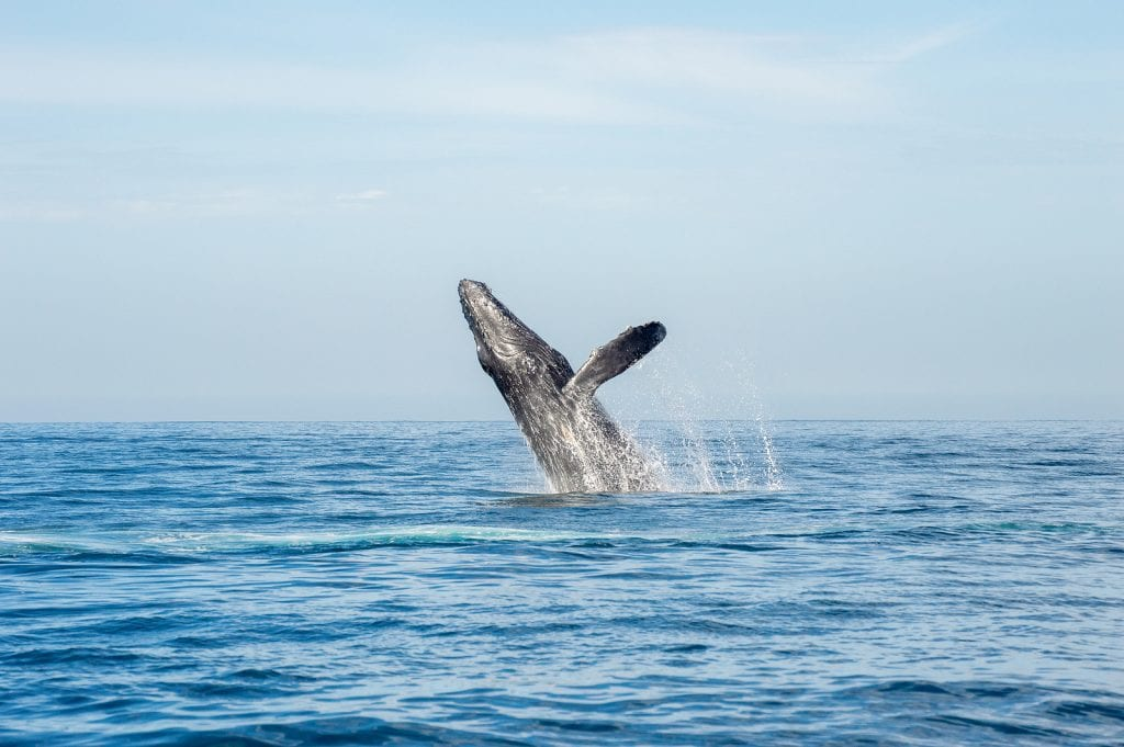 Humback Whale Facts Gold Coast